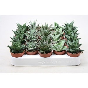 Aloes mix mini