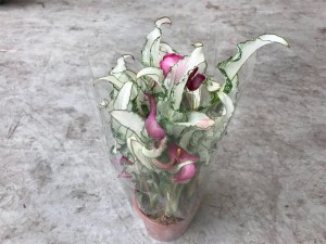 Zantadeschia mix