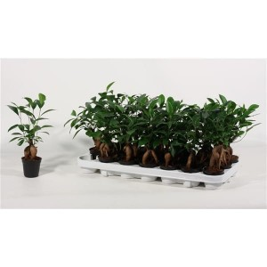 Ficus microcarpa Ginseng 1 pp 12m