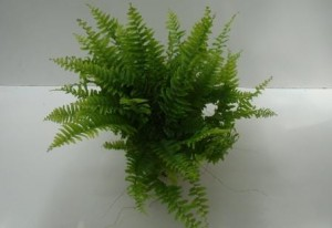 "Nephrolepis ""Boston"""